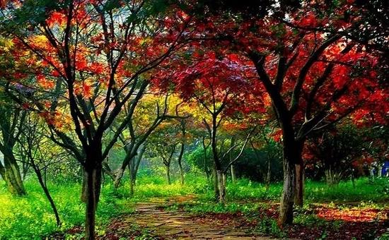 """五华最美赏秋地图,""""国树""""""""枫""""景正好"""