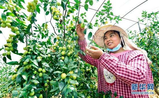 云南省弥勒市朋普镇团结村,村民在蜜枣园采收蜜枣。新华网发(普佳勇 摄)