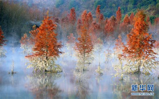 笼罩在清晨薄雾中的甸尾村水杉湿地(1月5日摄)。 新华社记者 秦晴 摄