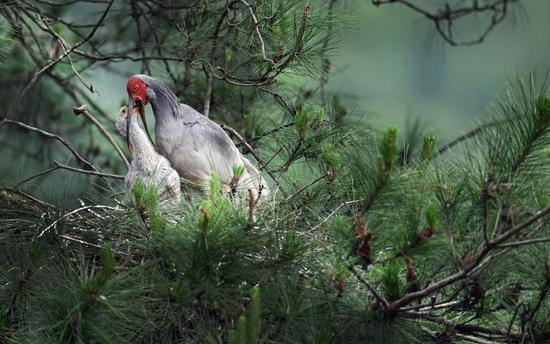 ↑在陕西省洋县龙亭镇梁河村一处密林里,一只成鸟朱鹮为幼仔喂食(5月21日摄)。 新华社记者 陶明 摄