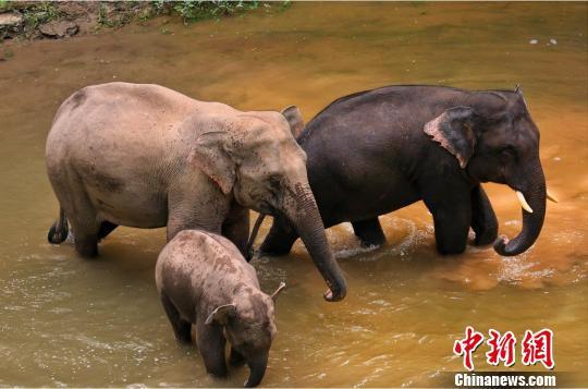图为在野外活动的亚洲象。西双版纳州森林公安供图