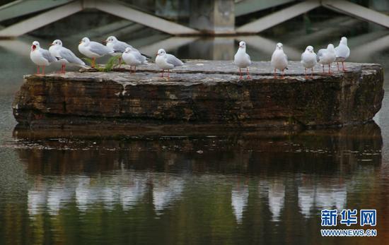 红嘴鸥在玉顺湖石板上休憩(11月3日摄)。新华网发