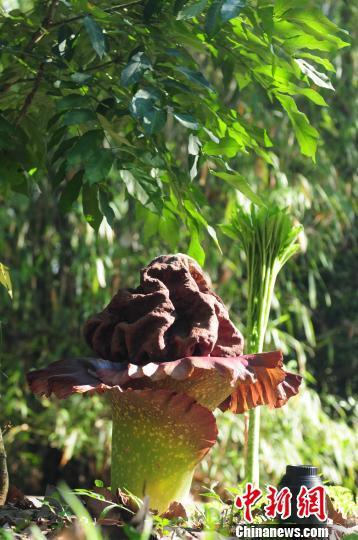 图为盛放的疣柄磨芋。 段其武 摄
