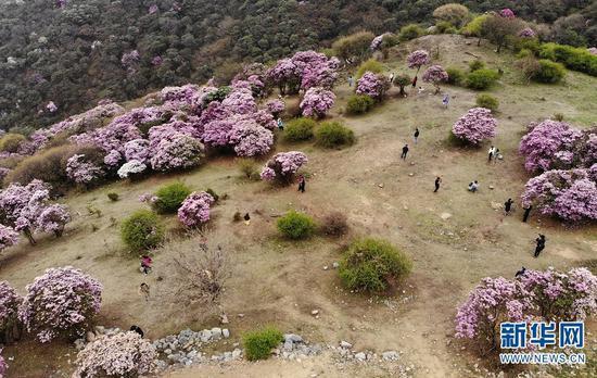 游客在云南大理马耳山杜鹃花海中赏花游玩。