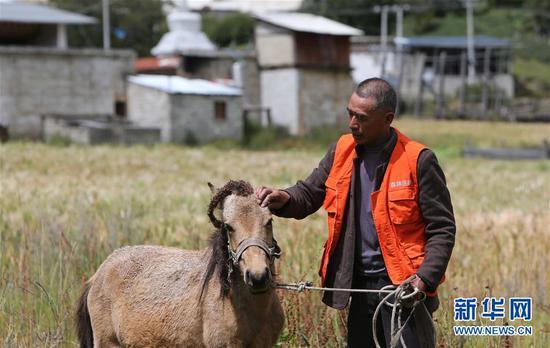 在云南迪庆藏族自治州普达措国家公园内,香格里拉市建塘镇洛茸村村民都杰七林在照料他的马(9月16日摄)。新华社记者 张誉东 摄