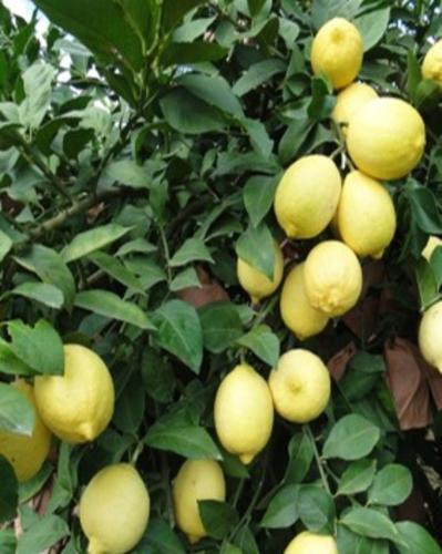 优质出口柠檬