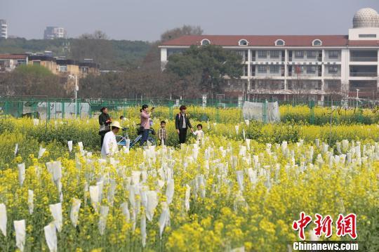 春季油菜花开,吸引游客赏花 张畅 摄