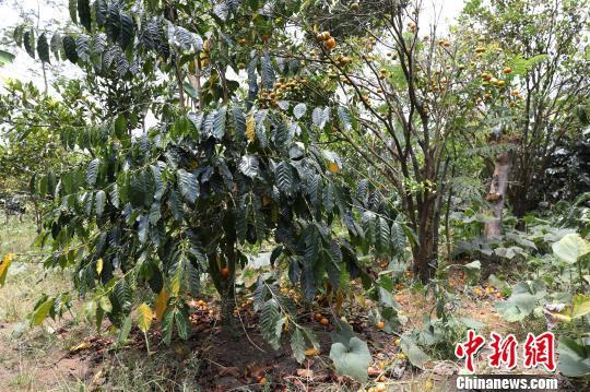 图为种植各种水果的阿拉比卡咖啡园。林永传 摄