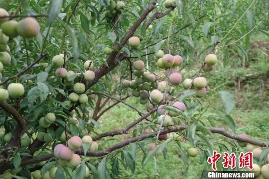 """图为绥江县种植的""""半边红""""李子 陈静 摄"""
