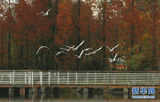 红嘴鸥在玉顺湖湖面上空飞翔(11月3日摄)。新华网发