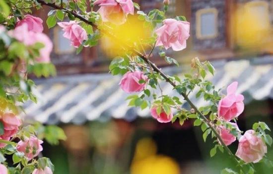 高清图丨丽江古城的春季花开满城 花香飘十里