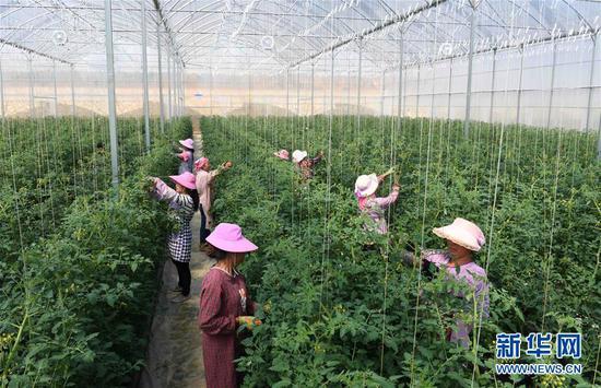 云南砚山县者腊乡夸溪村的农妇在蔬菜种植基地修枝剪叶。