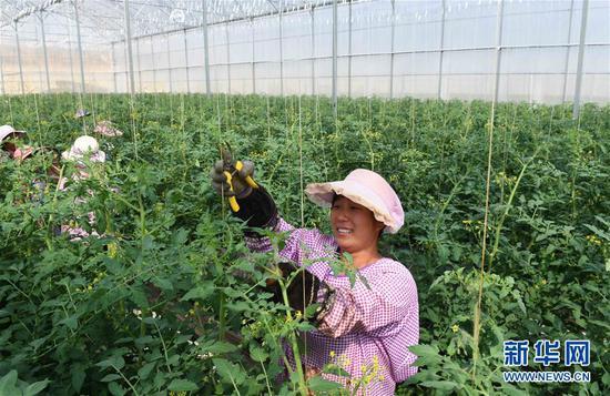 4月24日,云南砚山县者腊乡夸溪村的农妇在蔬菜种植基地修枝剪叶。