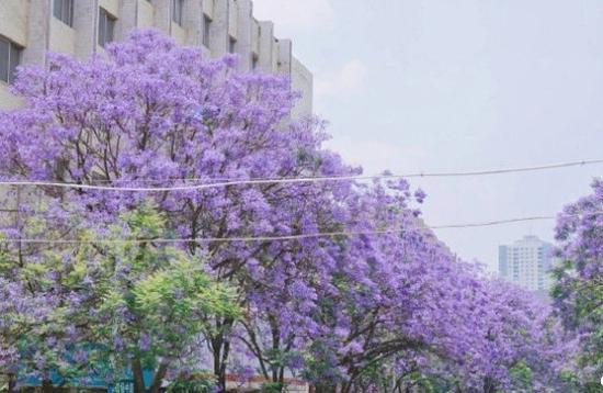 高清图丨昆明:每年4-6月,成片的蓝花楹如梦如幻