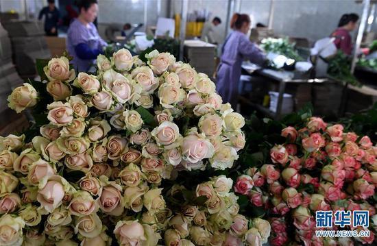 (工人在弥勒市品元园艺有限公司内分拣、包装刚采摘的玫瑰花,准备供应外地市场)