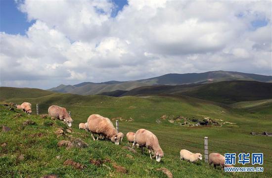 8月27日,当地农民饲养的羊在大海草山吃草。