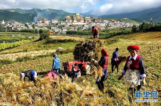 香格里拉市建塘镇农户趁着好天气收割青稞