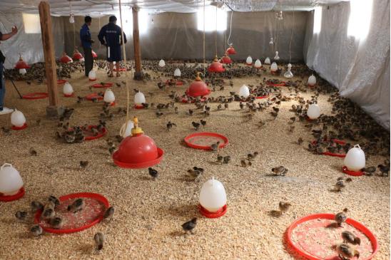 技术人员在王水兰家鸡舍查看养殖情况(王娅男/摄)