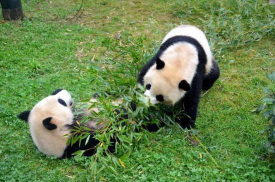 云南野生动物园的大熊猫 资料图
