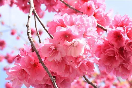 云南丽江:又到樱花烂漫时