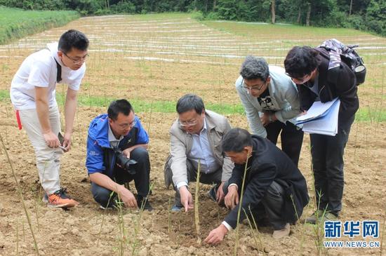 西南林业大学教授董文渊在大关指导筇竹培育工作。(供图)