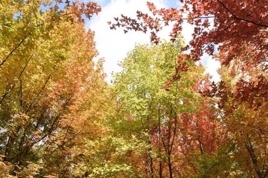 旅游丨来寻一抹秋意 昆明植物园枫叶红啦!