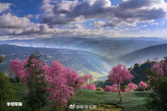 高清图丨最美樱花谷!大理无量山冬樱花即将盛开