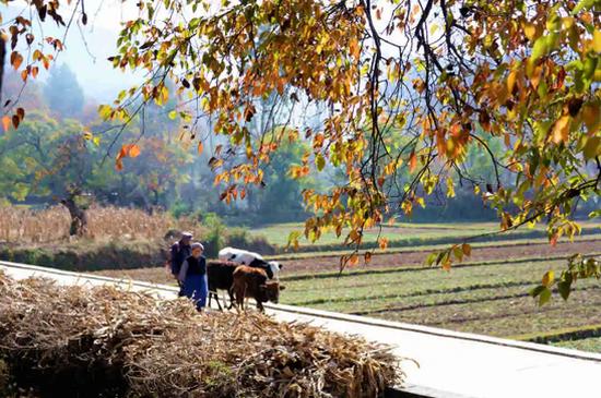 云南劍川:古木掩映桑嶺村