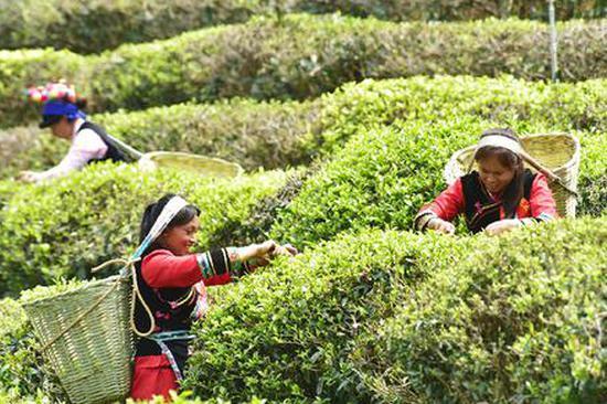 又到春茶采摘时 大理彝乡南涧罗伯克茶场开采