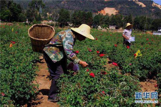 当地村民正在采摘食用玫瑰