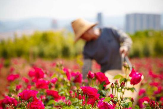 """一束玫瑰一桌菜 云大用鲜花做菜成""""网红"""""""