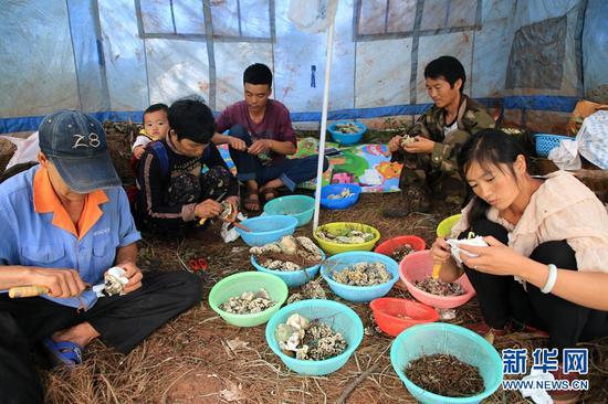 农户在对野生菌做初步的清洁。新华网 周亚平 摄