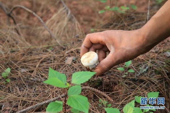 农户在采摘野生菌。新华网 丁凝 摄