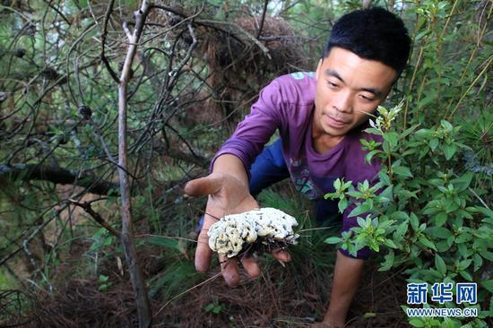 农户在山林里采摘野生菌。新华网 丁凝 摄