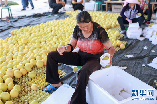 华坪县荣将镇龙头村农欣芒果专业合作社成员正在将采摘回来的芒果进行包装