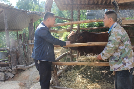 象达镇邦工村建档立卡贫困户养殖的肉牛