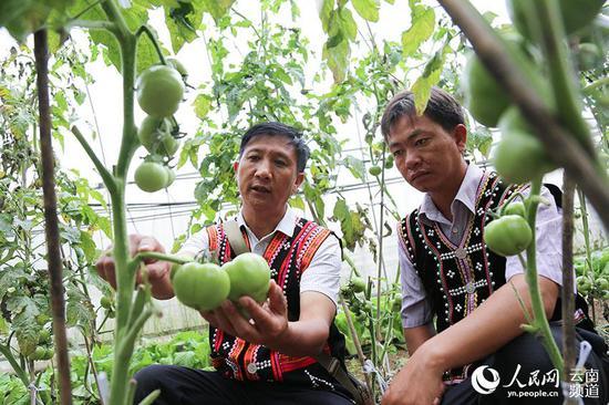 农业服务中心工作人员在蒿枝坝村民小组查看西红柿长势