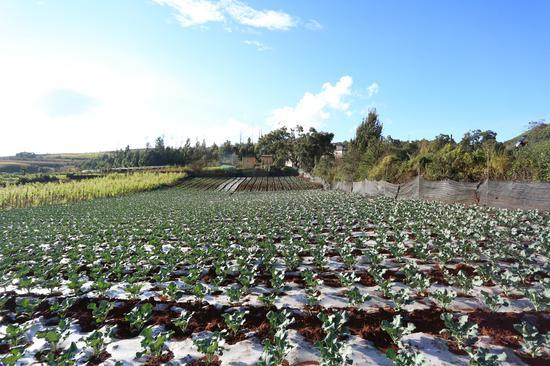 苗族村民种植的蔬菜