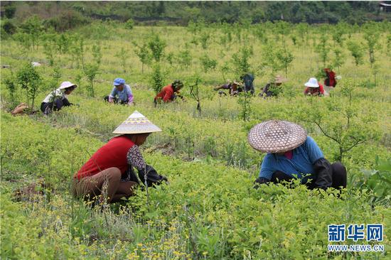 腾冲市曲石镇公平社区通过土地流转规模种植银杏 每年为村集体经济增收10万元