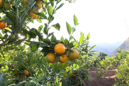 万亩柑橘园(王娅男/摄)