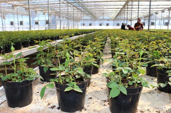 盆栽玫瑰种苗培育