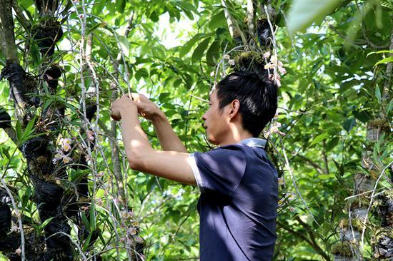 斛农正在林间采摘石斛花
