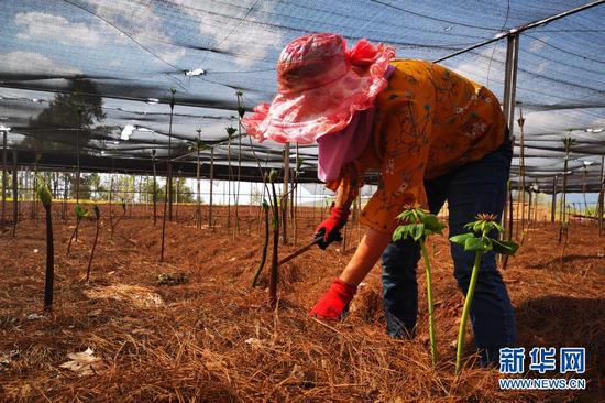为重楼除草的药农。新华网 赵普凡 摄