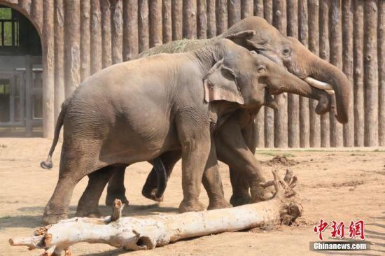 两头亚洲象站在一起,将鼻子勾在一起,非常亲密。 郑硕 摄