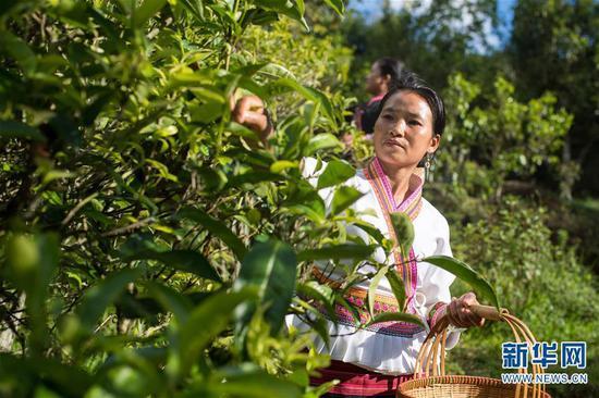 6月13日,布朗山布朗族乡老曼峨村村民玉先南在采摘古树茶。 新华社记者 胡超 摄