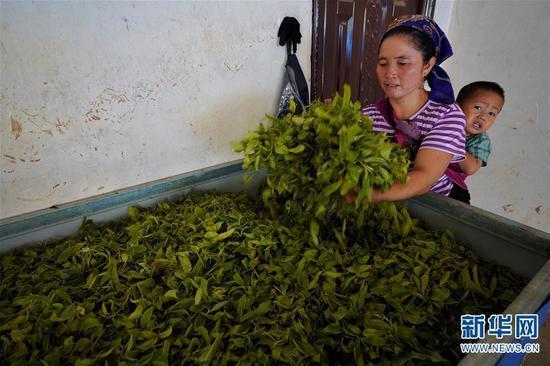 6月13日,布朗山布朗族乡老曼峨村村民把茶树鲜叶进行萎凋处理。 新华社记者 秦晴 摄