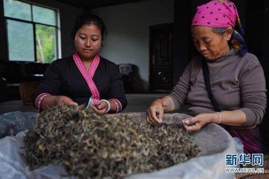 6月13日,布朗山布朗族乡老曼峨村村民玉儿安(左)和母亲在村里的茶叶初制厂挑拣茶叶。 新华社记者 秦晴 摄