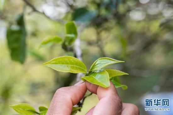 6月13日拍摄的布朗山布朗族乡老曼峨村的古树茶。 新华社记者 胡超 摄