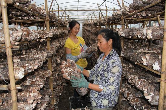 菇农采摘香菇