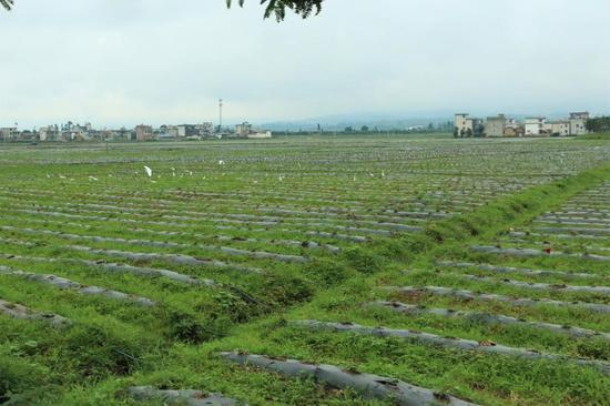 白鹭群徜徉在万亩生态观光农业园内